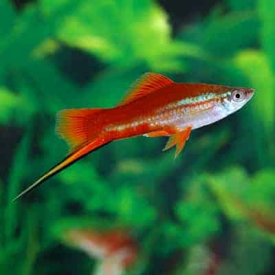 Swordtail Fish - Fishkeeping Advice
