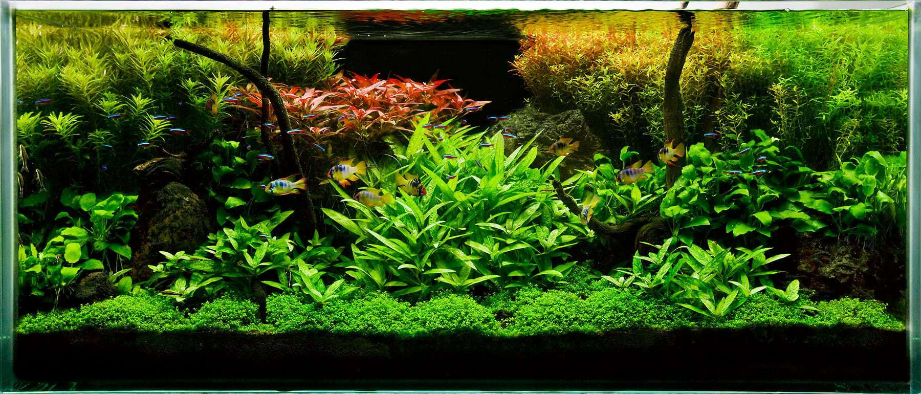Top 5 tetras for beginners fishkeeping advice for Tetra fish tanks