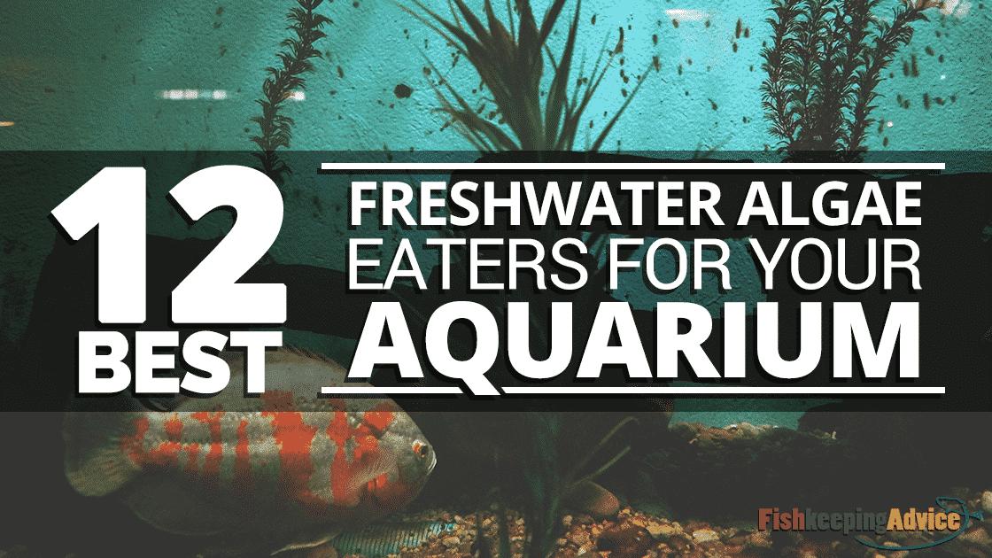 Algae Eating Fish