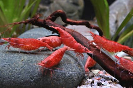 Freshwater shrimps