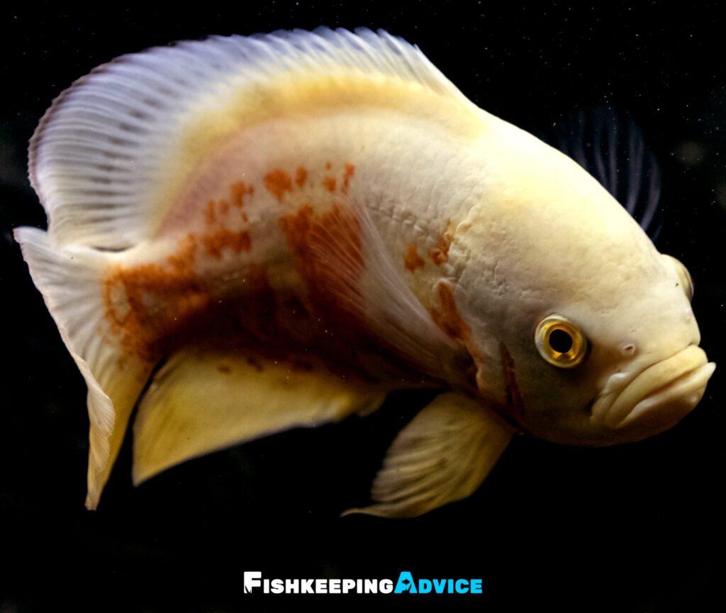 Sexing Oscar Fish