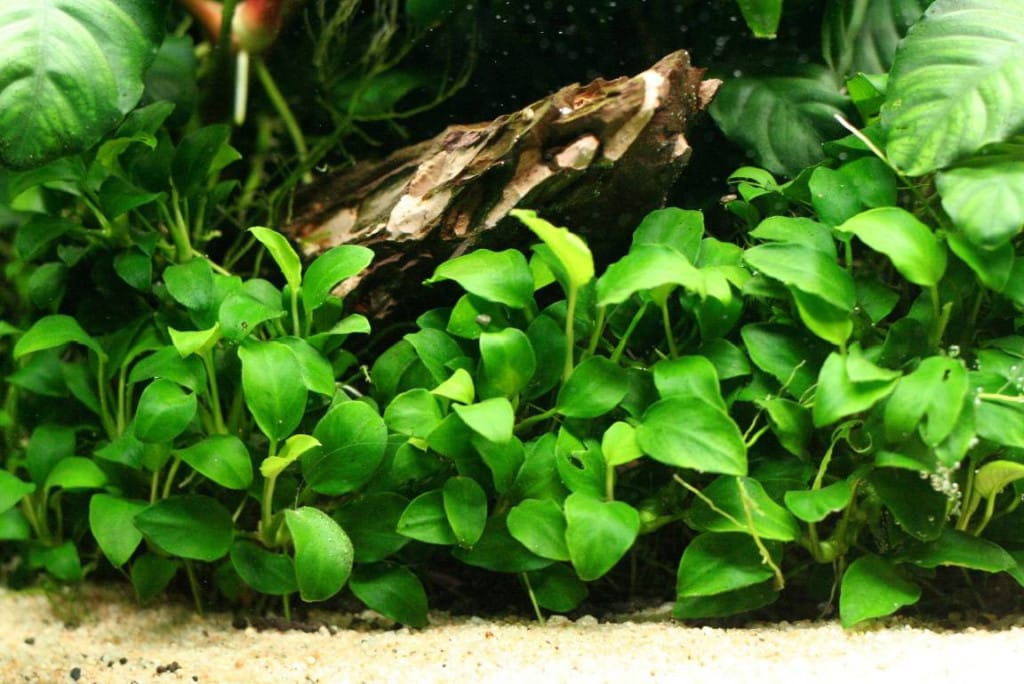 Anubias aquascaping