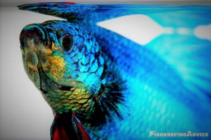 Betta fish are beautiful freshwater fish