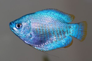 Blue Powder Dwarf Gourami