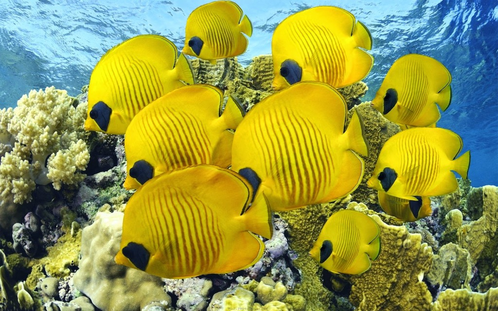Wild Butterfly Fish
