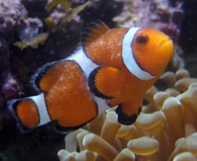 Clownfish with whitespot