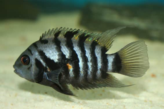 Cichlid Featured Image