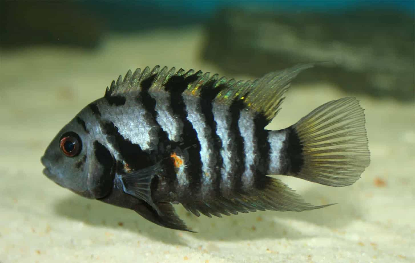 Convict Cichlid Care