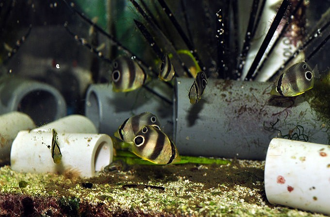 Baby Butterfly Fish