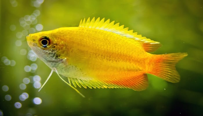 honey gourami diet