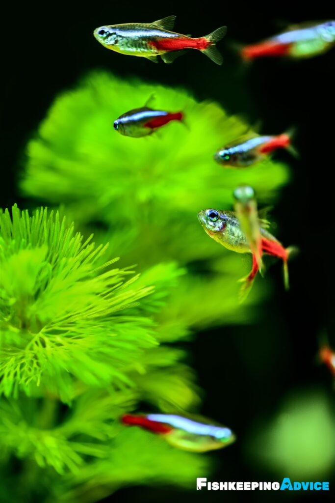 neon tetra plants