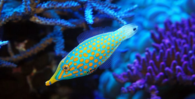 Orange Spotted Filefish