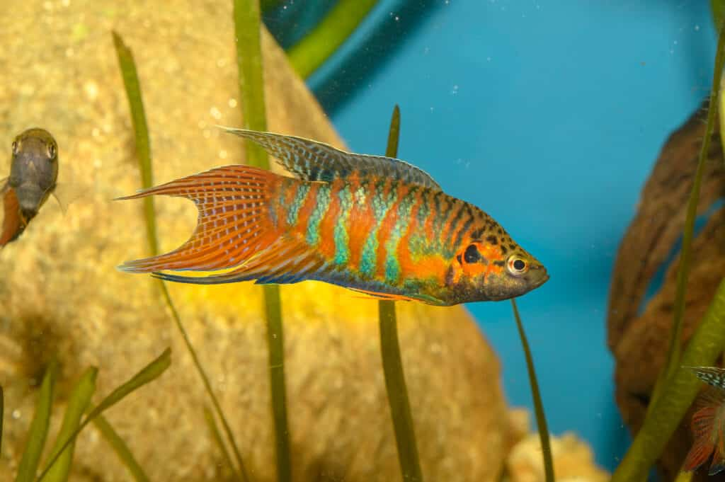 How To Care For Pardise Fish