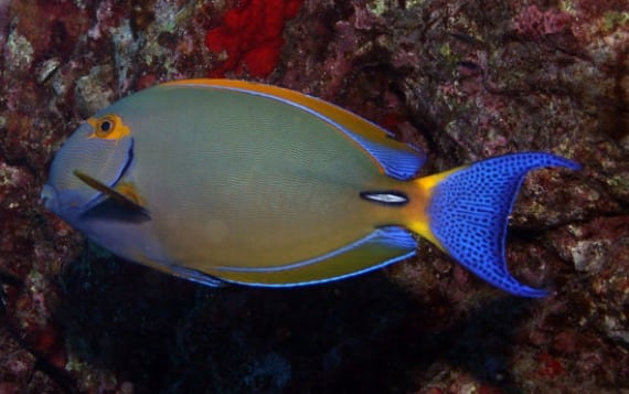 Pencilled Tang