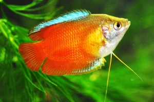 Flame Red Gourami