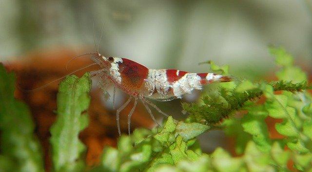 Crystal Red Shrimp Care