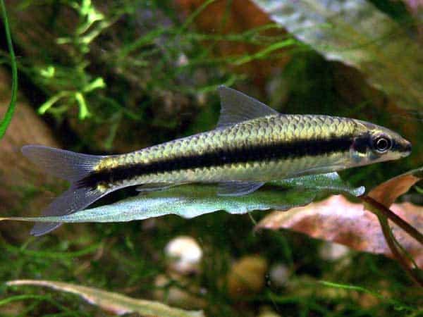 12 best freshwater algae eaters for your aquarium for Fish that eat algae