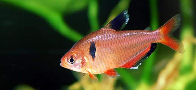 Top 5 tetras for beginners fishkeeping advice for Types of tetra fish