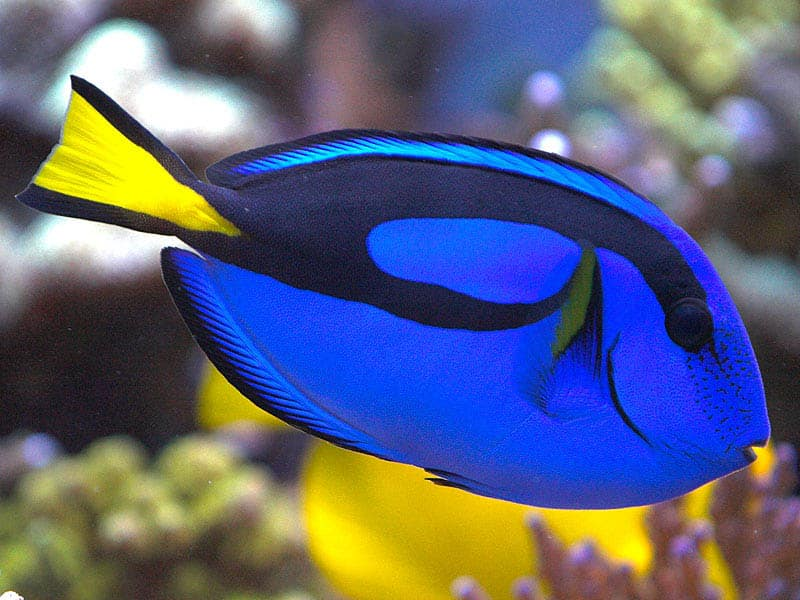 The Blue Tang is also known as the Regal Tang