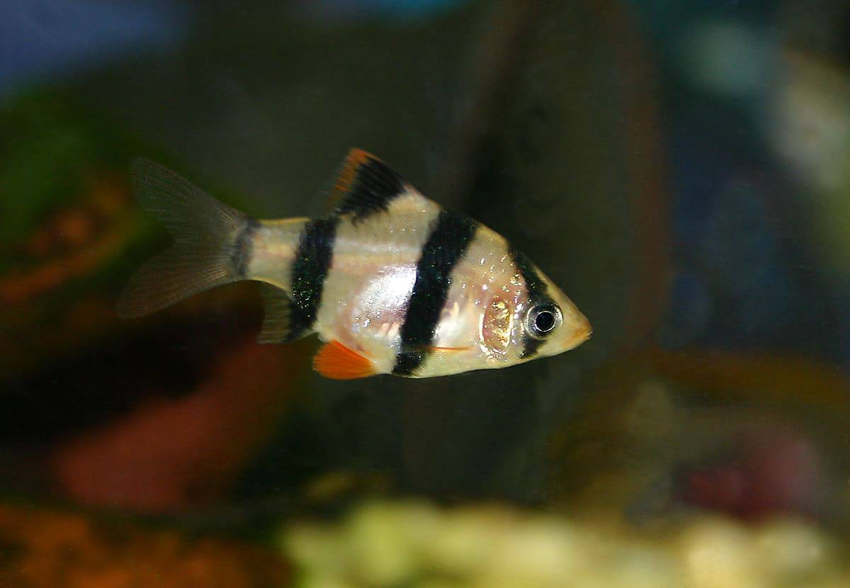 Tiger Barb Care Guide Diet Tank Breeding Fishkeeping Advice