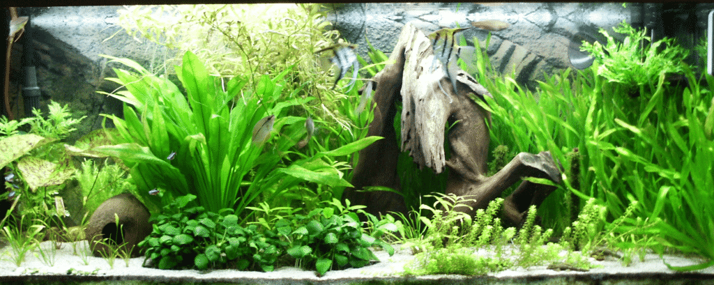 Tiger Barbs Tank Conditions