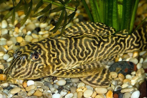 Tiger Pleco - Care Guide - Fishkeeping Advice
