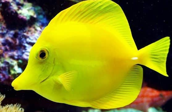 The 10 best saltwater fish for beginners fishkeeping advice for Yellow fish tank water