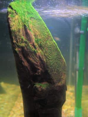 Algae on a piece of driftwood