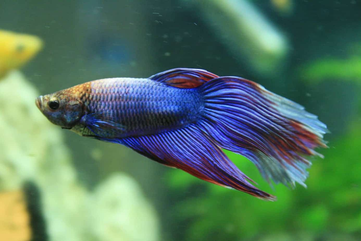 betta fish for beginners