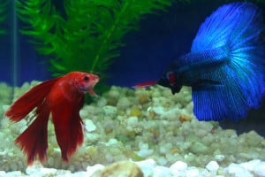 siamese fighting fish preparing to fight each other