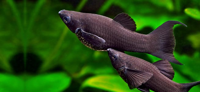 Black Molly Care Guide Diet Tank Breeding Fishkeeping Advice