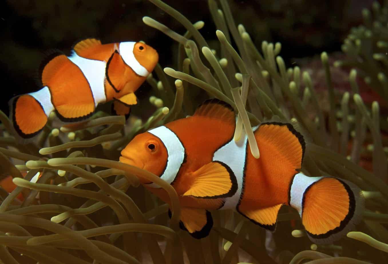 breeding clown fish