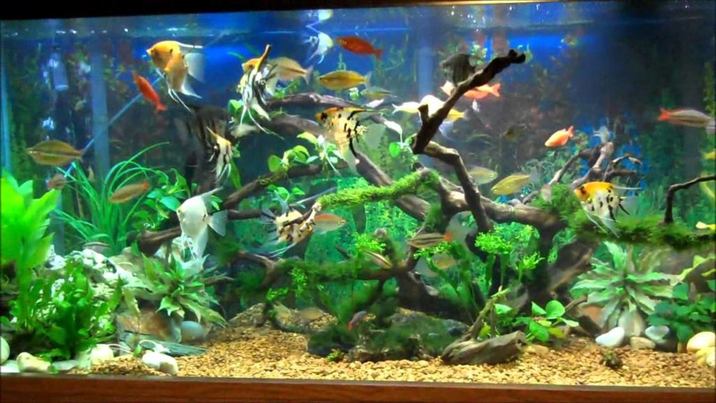 Honey gourami care guide fishkeeping advice for Good community fish