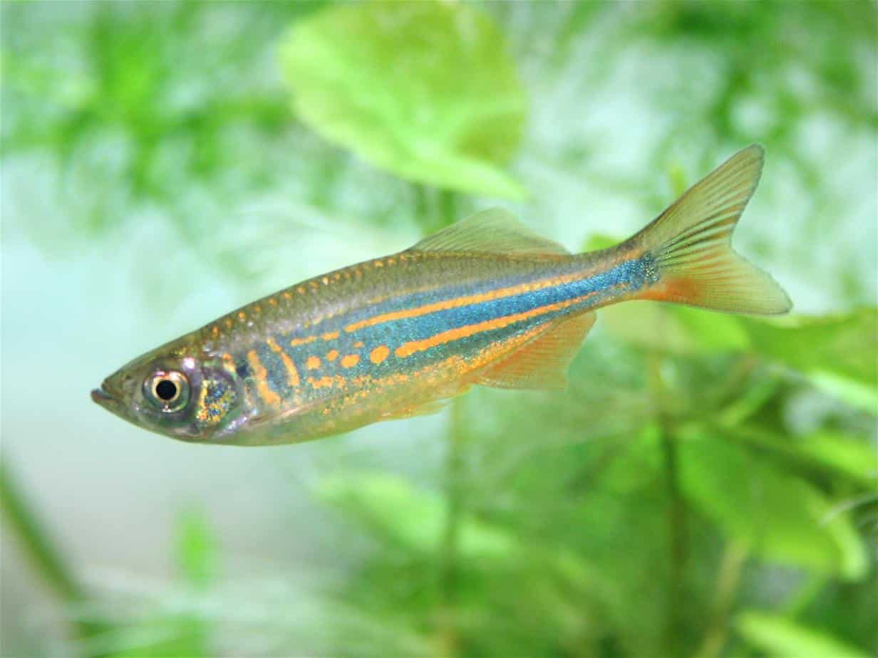 Freshwater aquarium fish photos - One Of The More Hardy Freshwater Aquarium Fish Available For Beginners Are Danios Due To Their Hardiness They Are The Perfect Fish For People Who Don T