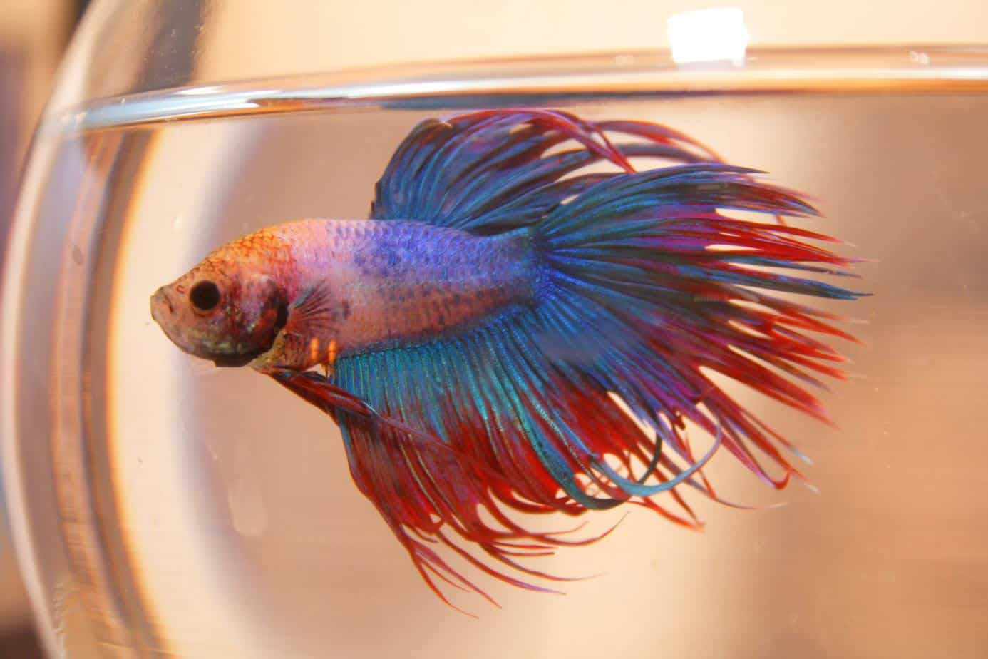 Complete betta fish care guide fish keeping advice for How to care for a betta fish