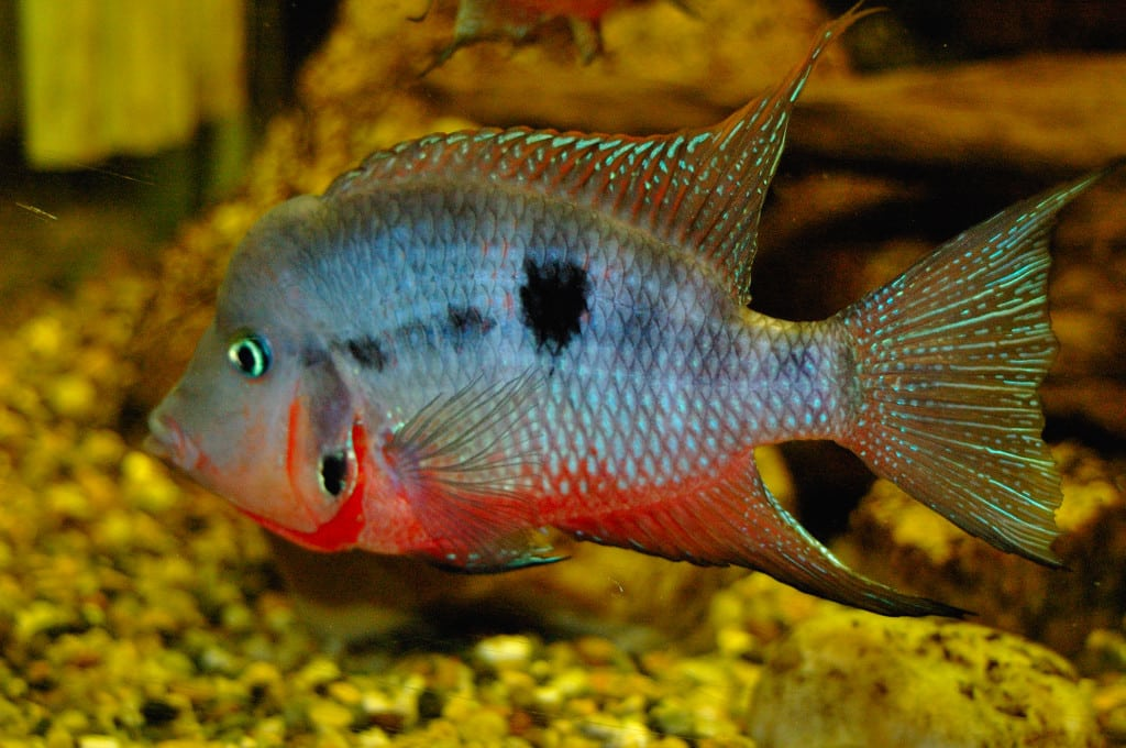 firemouth cichilid