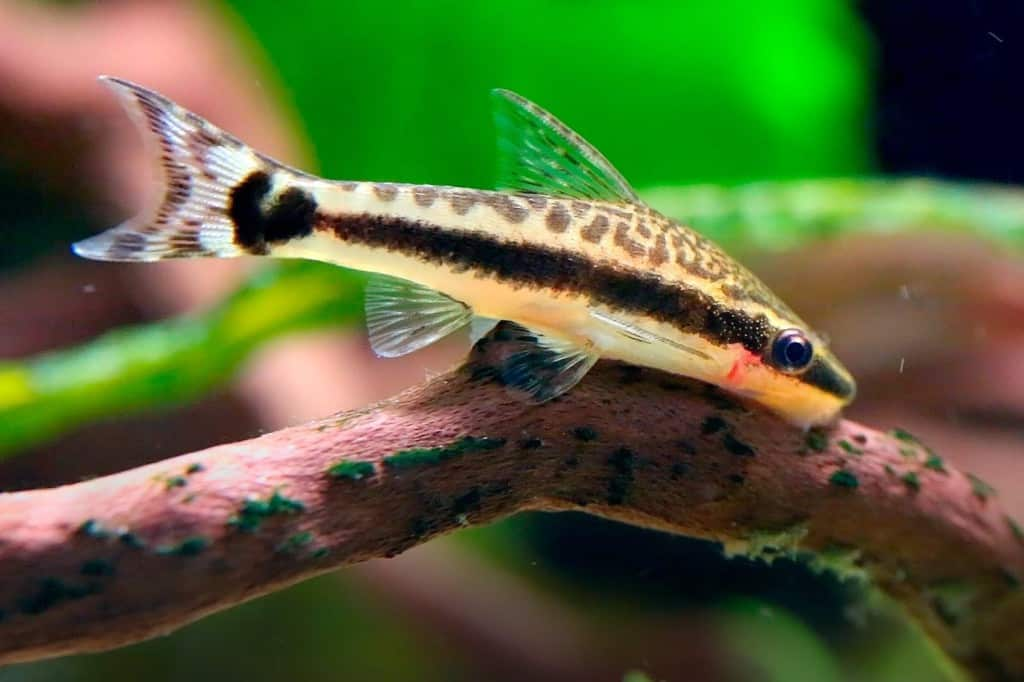 12 best freshwater algae eaters for your aquarium for Algae eating fish