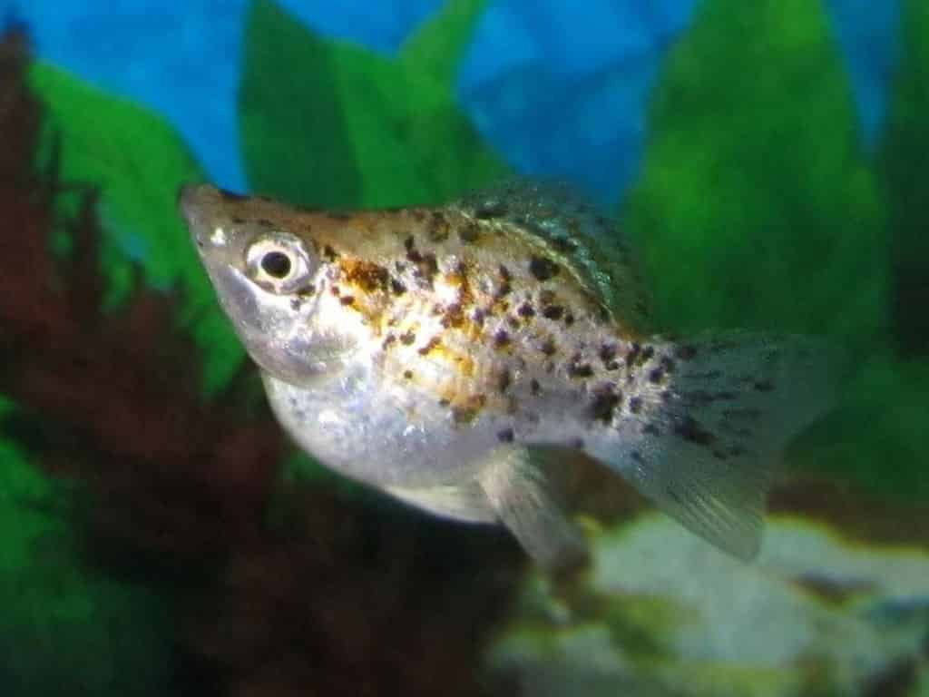 Freshwater aquarium fish list species - Mollies