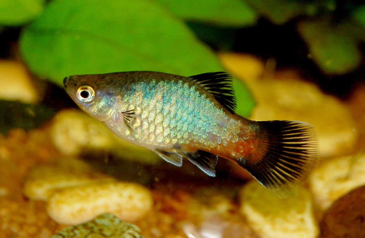 Freshwater aquarium fish lifespan - Platies