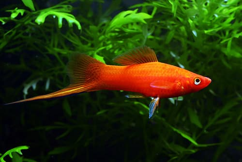 The Only Swordtail Fish Care Guide You Will Need ...