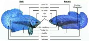 siamese fighting fish male vs female