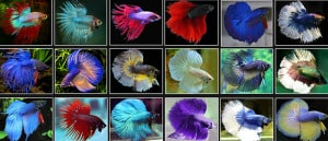 siamese fighting fish colors