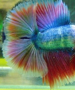 siamese fighting fish fins