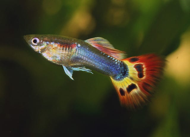 13 best freshwater fish for your home aquarium fish for Common freshwater aquarium fish