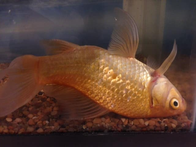 Swim bladder disease information for tropical fish owners for Tropical fish diseases