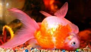 Fish suffering from Swim Bladder how can you fix it?